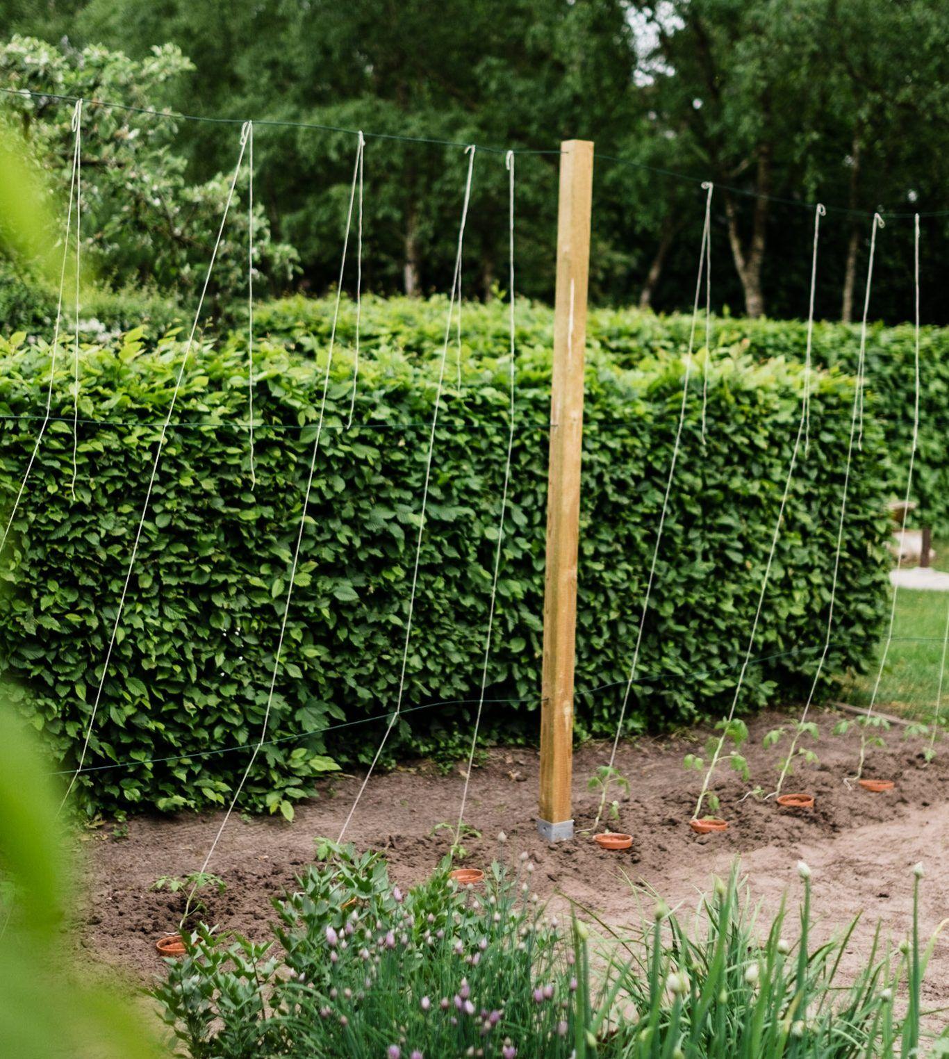 Tomaten Vermehren Pflegen Ernten Teil 5 Auspflanzen Und Rankhilfe Diy Osmers Garten Tomaten Pflanzen Garten Gemuse Pflanzen