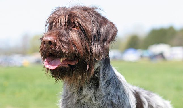 Wirehaired Pointing Griffon Dog Breed Information ...