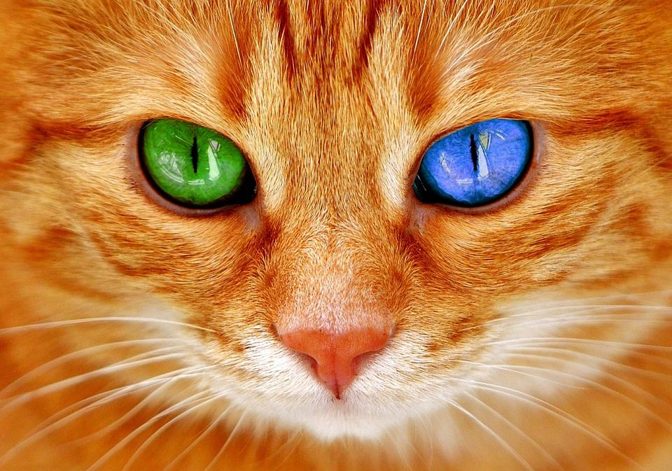Red Mackerel Tabby Cat With Two Different Colored Eyes Cute Cat Breeds Most Beautiful Cat Breeds Tabby Cat