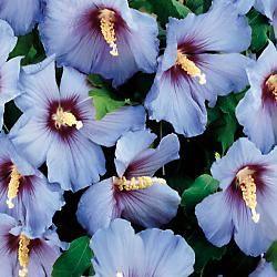 Blue Satin Hibiscus