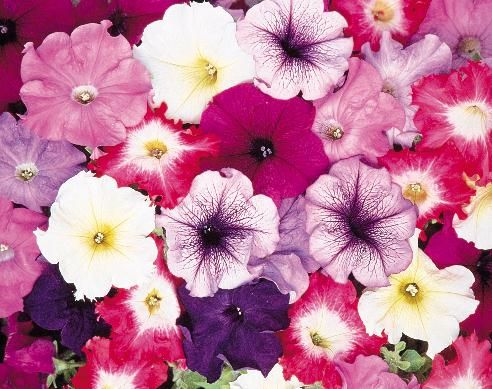 Dr Dan S Garden Tips Passionate About Petunias Petunia Flower Low Maintenance Flower Garden Flower Seeds