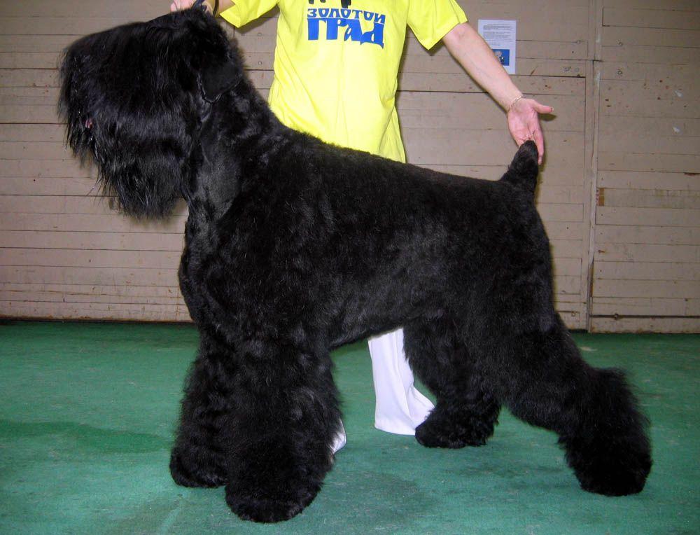 Kennel Of Black Russian Terrier Zolotoy Grad Haircut Black