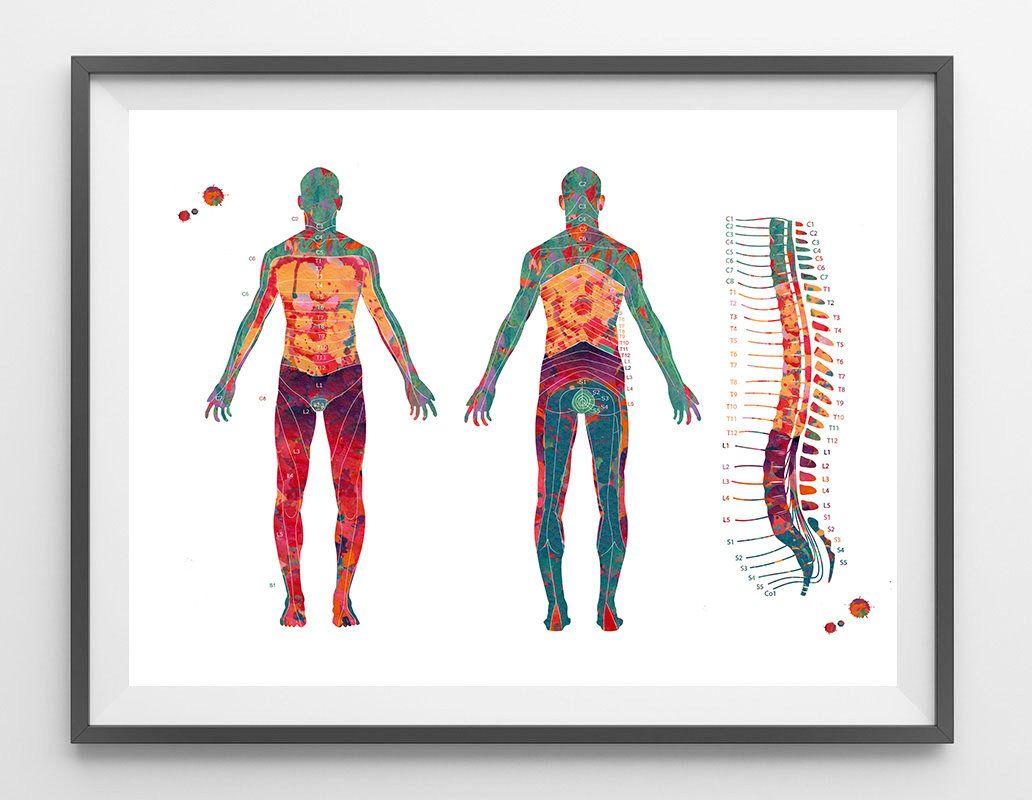 Dermatome Map Watercolor Print Spine Vertebrae And Dermatomes Poster