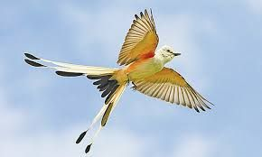 Image Result For Texas Bird Medium Size Gray With Yellow Breast Hooked Beak