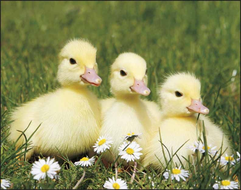 Baby Farm Animals Pictures Widescreen 2 HD Wallpapers