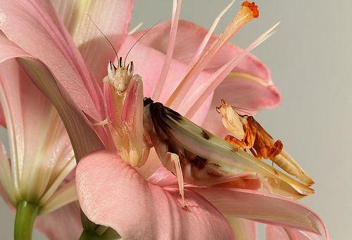 Pin On Mantis