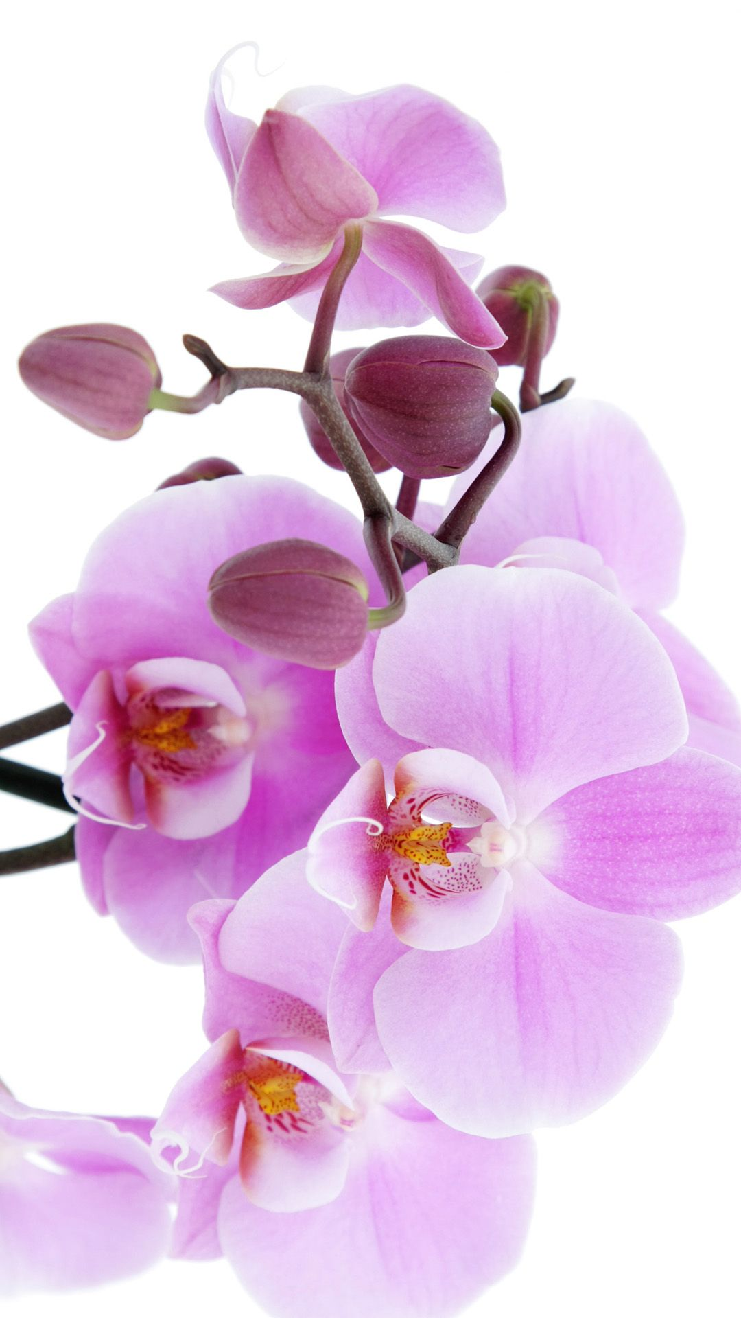 pure pink orchid iphone 6 wallpaper flower wallpaper