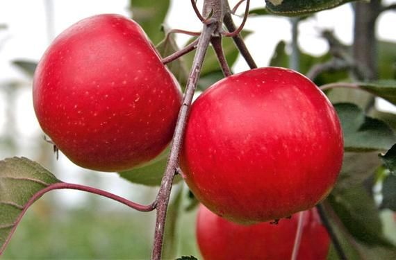 SPECIAL DEAL - Apple Tree - Redlove® Era - 150cm Fruit Tree - Malus domestica Red Love