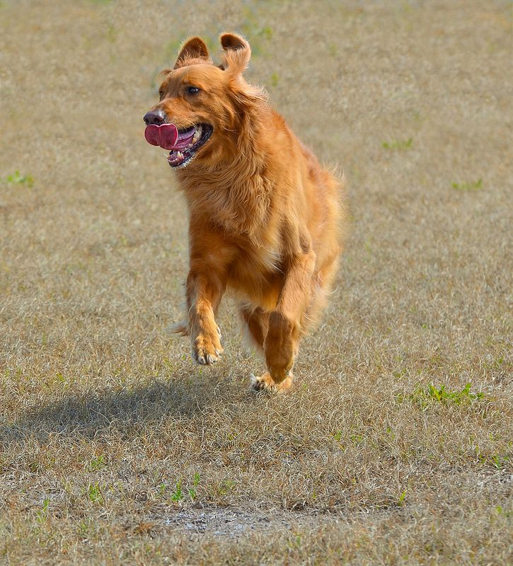 I Am In My Happy Place Golden Retriever Dog With Images Golden