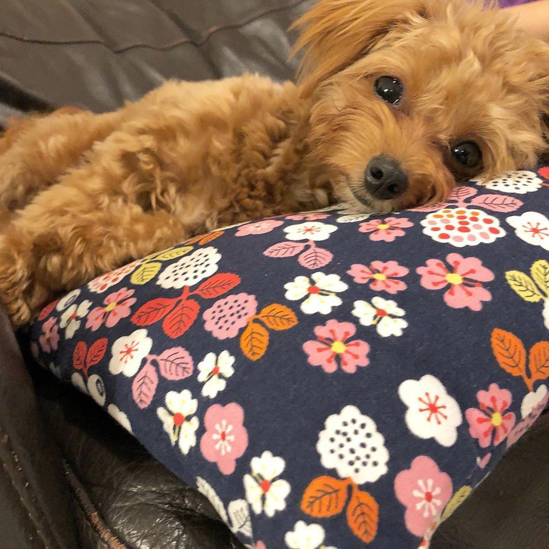 疲れてぐったり寝てる あめ 犬 マルプー マルチーズ トイプードル ミックス犬 愛犬 ペット わんこ アプリコット 小型犬 Dog マルプー 小型犬 ミックス犬