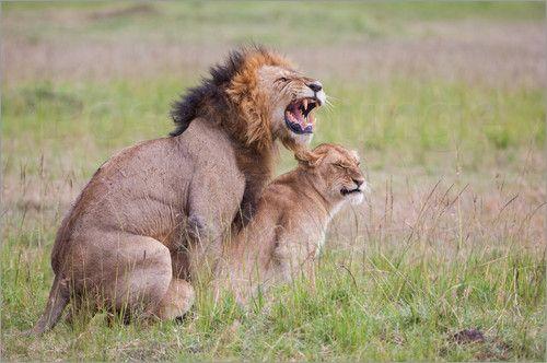 Wünsche allen ein schönes Wochenende mit meinem Poster des Tages:  Ingo Gerlach - Löwenliebe