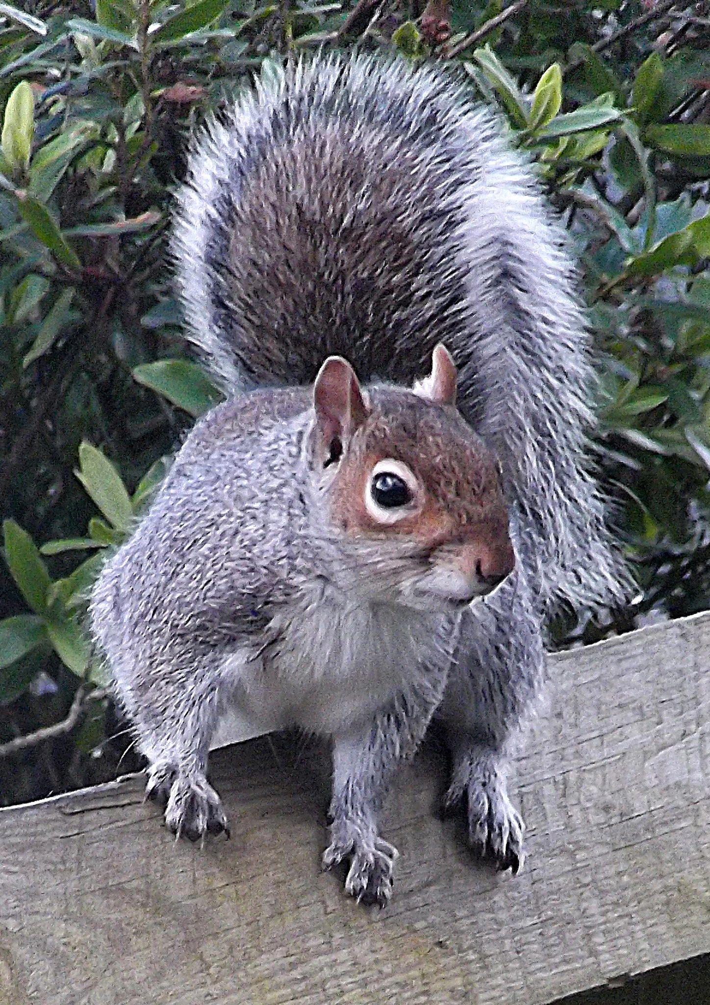 Grey squirrel Poser … Squirrel, Animals beautiful, Pet