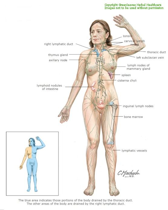 The Lymphatic System Health Beauty Remedies Pinterest