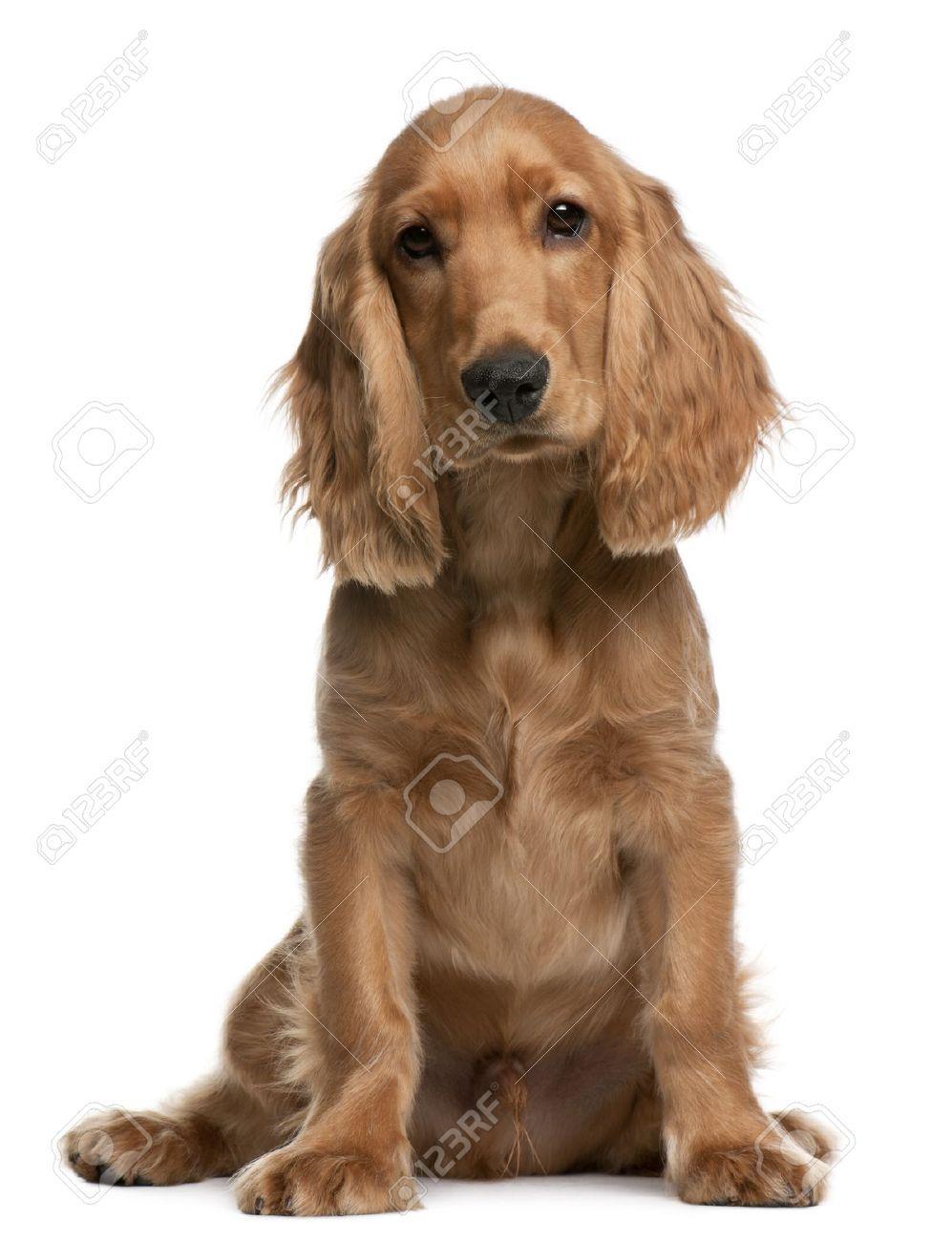 stock photo cocker spaniel puppies spaniel puppies
