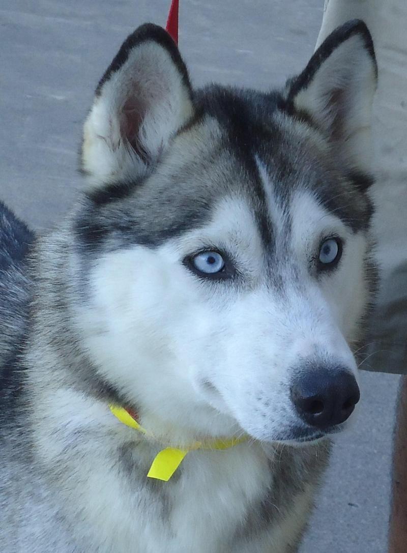 Meet Callie A Petfinder Adoptable Siberian Husky Dog Medford Or