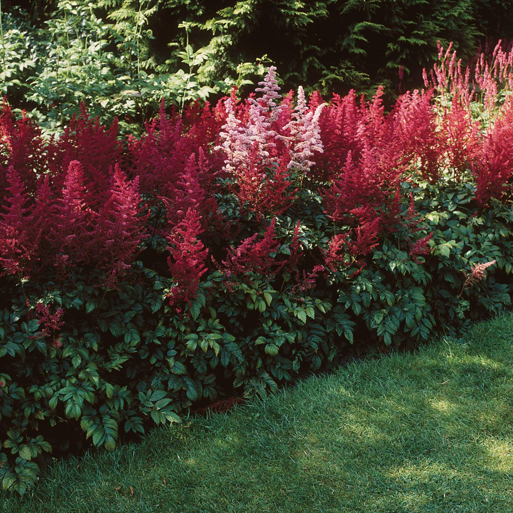 20 Black Flowers And Plants To Add Drama To Your Garden: Astilbe-arendsii-Fanal, Zone 3, 60cm, Carmine Red Flowers