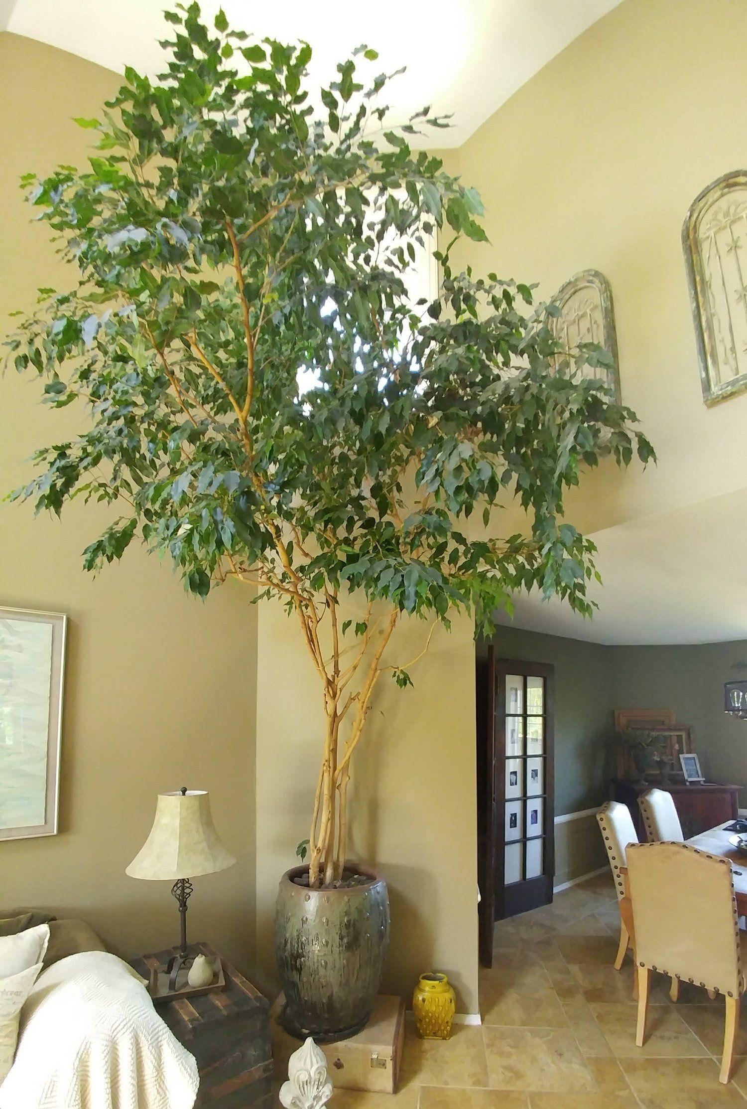 Indoor Tree Ficus Home Indoor Trees Ficus Tree Indoor
