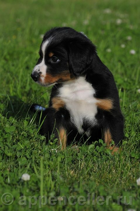 Appenzeller Puppy 2008 45 Puppies Big Dogs Appenzeller Dog