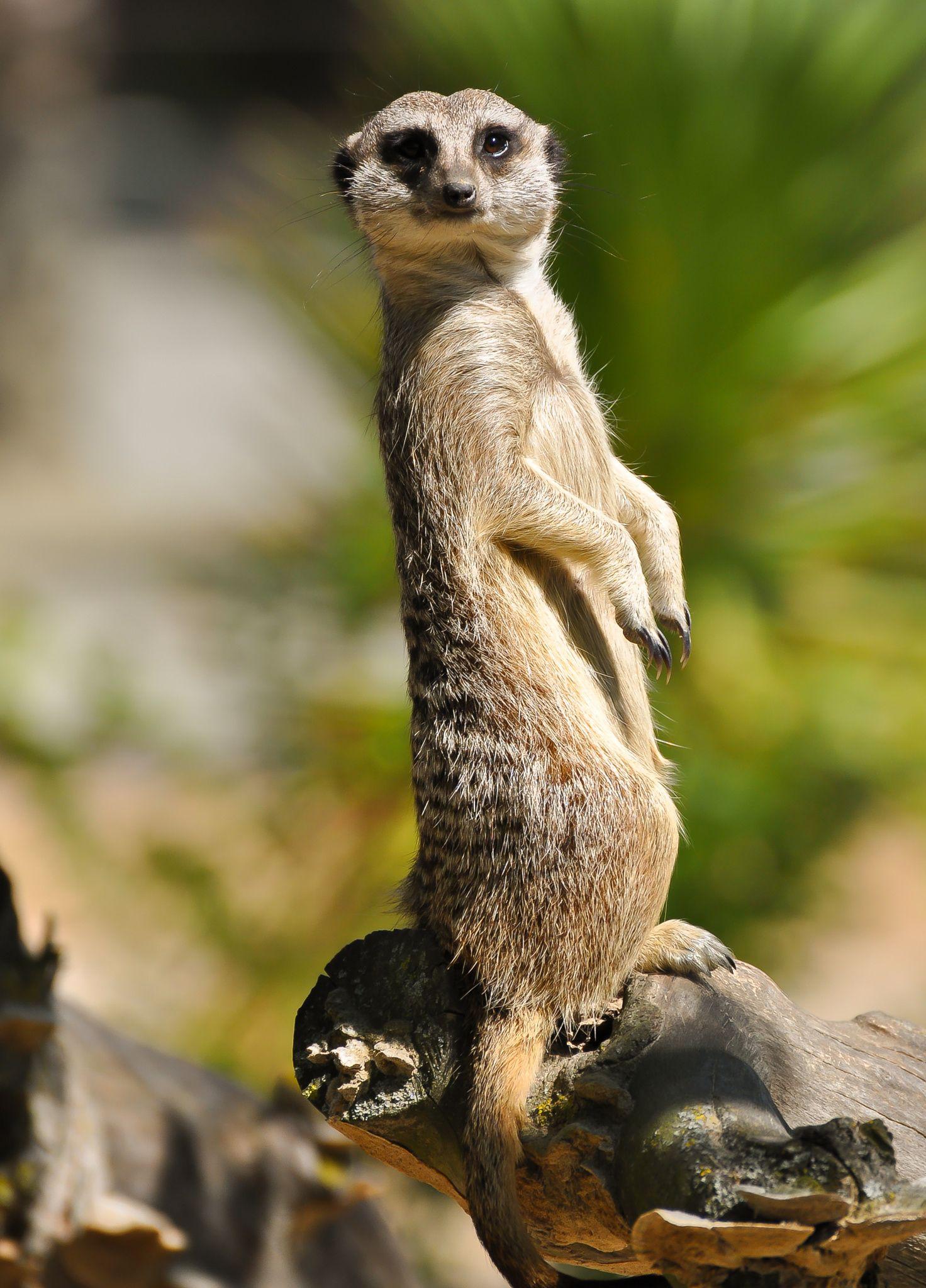 Meerkat by Gisler Marco**