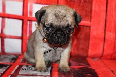 Fairytailpuppies Where Pets Are Family Too Louise Pugs Pets