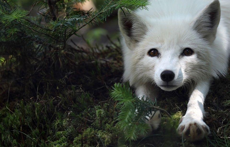 Arctic Fox | Canadian + Wildlife | Animals beautiful, Cute