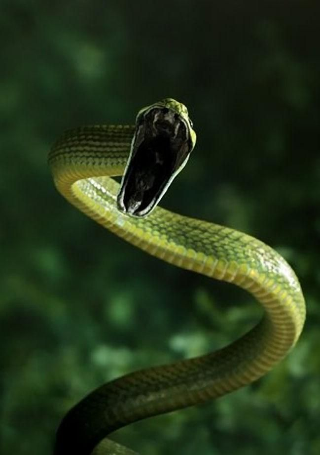 The Green Cat Snake Boiga Cyanea Is A Species Of Nocturnal Mildly Venomous Rear Fanged Colubrid Opisthoglyp Snake Reptiles And Amphibians Beautiful Snakes