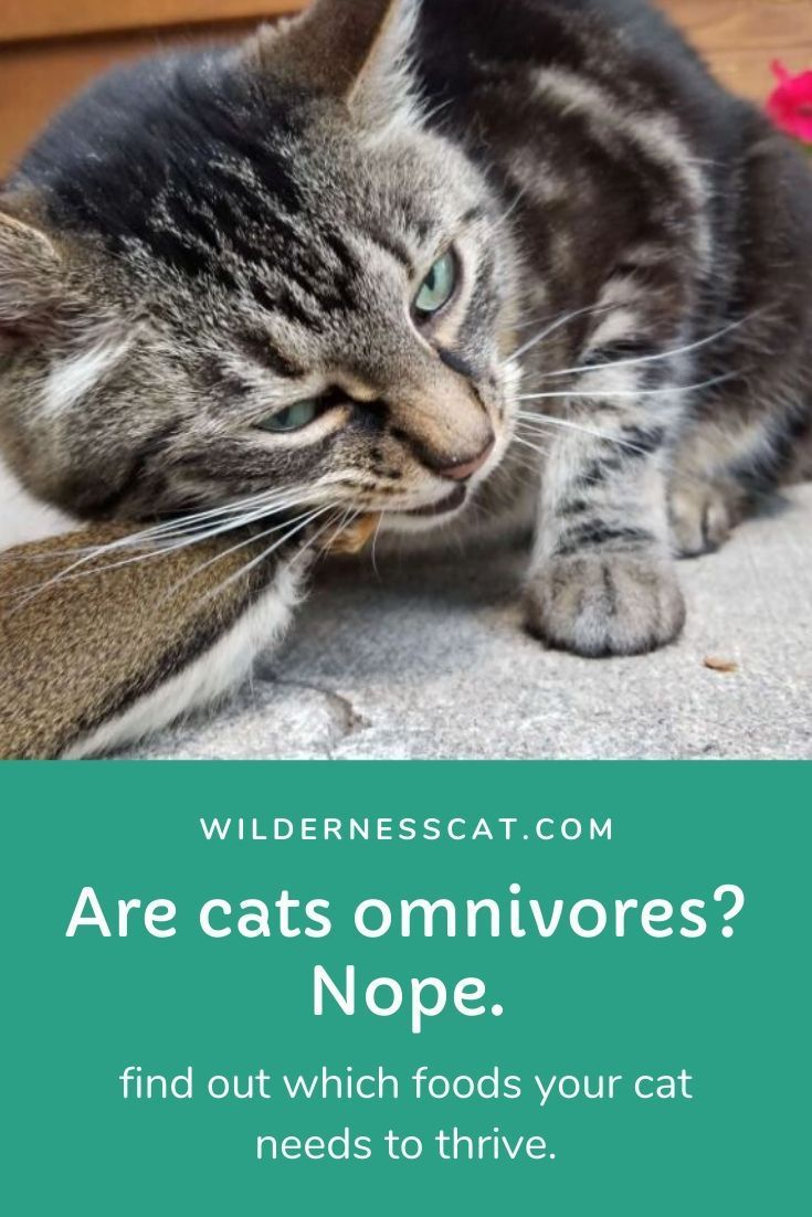 Are Cats Omnivores? in 2020 Cats