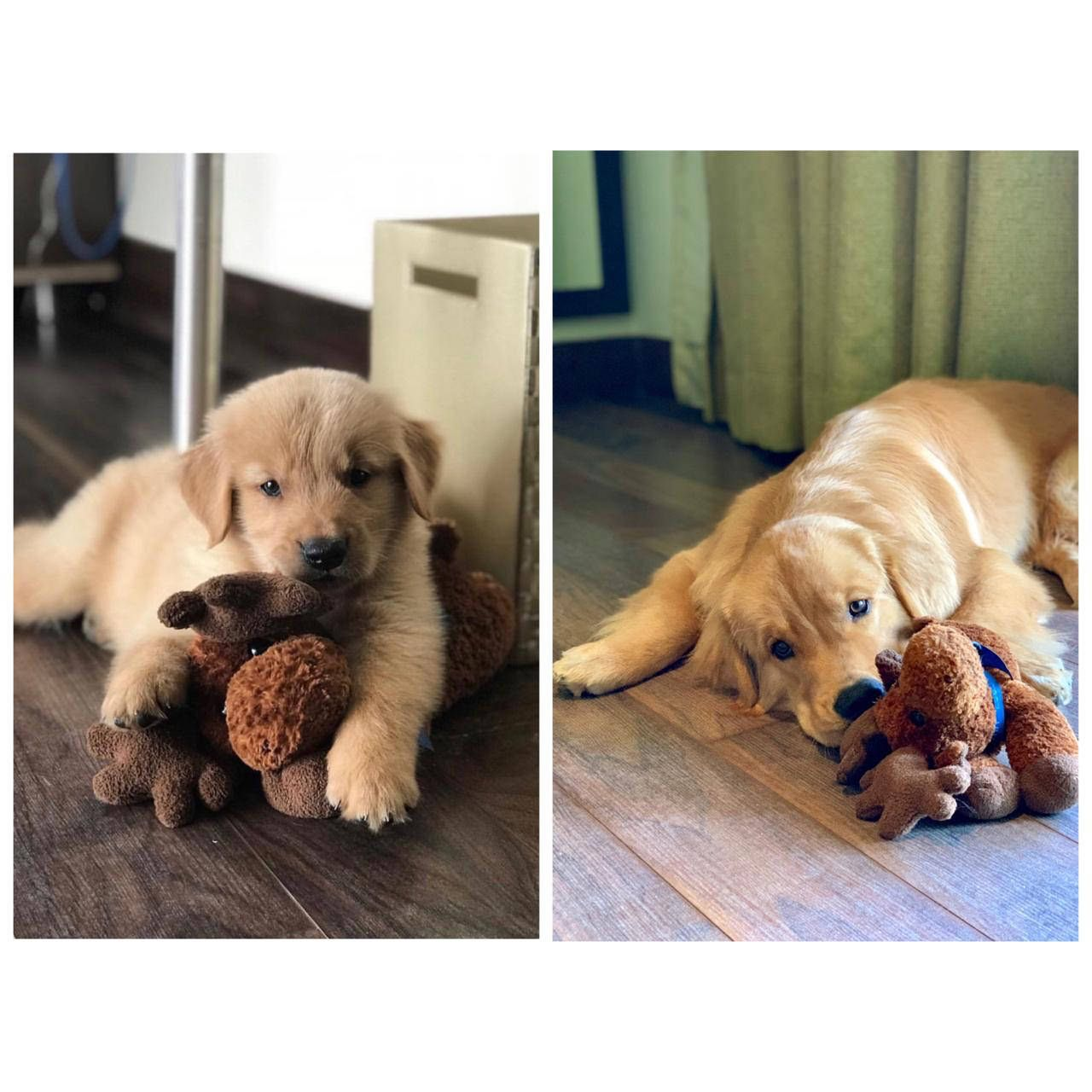 They Grow Up So Fast Golden Retriever Doggy Donate