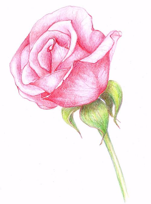 Image Discovered By Meily Find Images And Videos About Pink Drawing And Rose On We Heart It The App T Flower Drawing Roses Drawing Realistic Flower Drawing