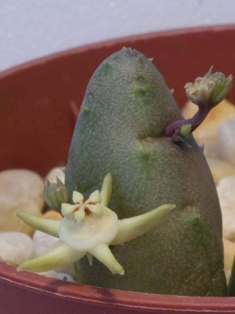 Duvalia parviflora.JPG