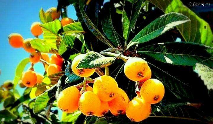 #alentejo #frutos #nêsperas