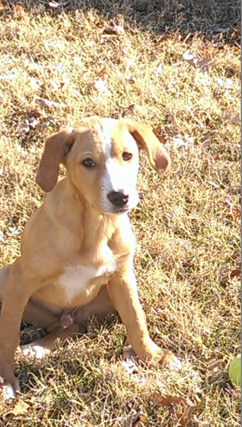 Adopt Jordan on (With images) Yellow labrador retriever
