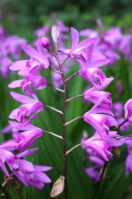 Bletilla Striata Ground Orchids Orchids Purple Flowering Plants