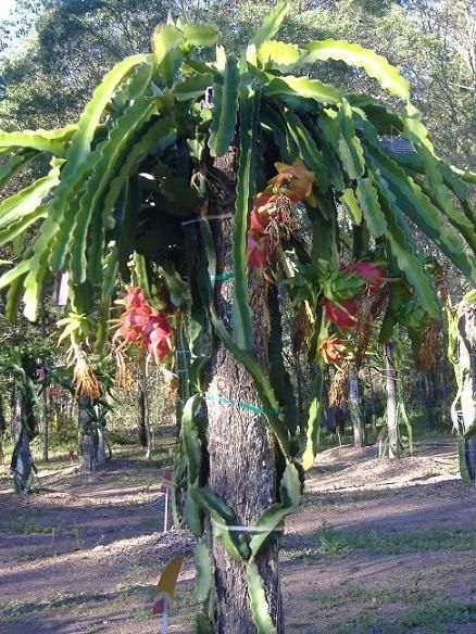 The Posts Short So The Plants Starts Fruiting When It Reaches Quite A Low Dragon Fruit Plant Dragon Fruit Tree Trees To Plant