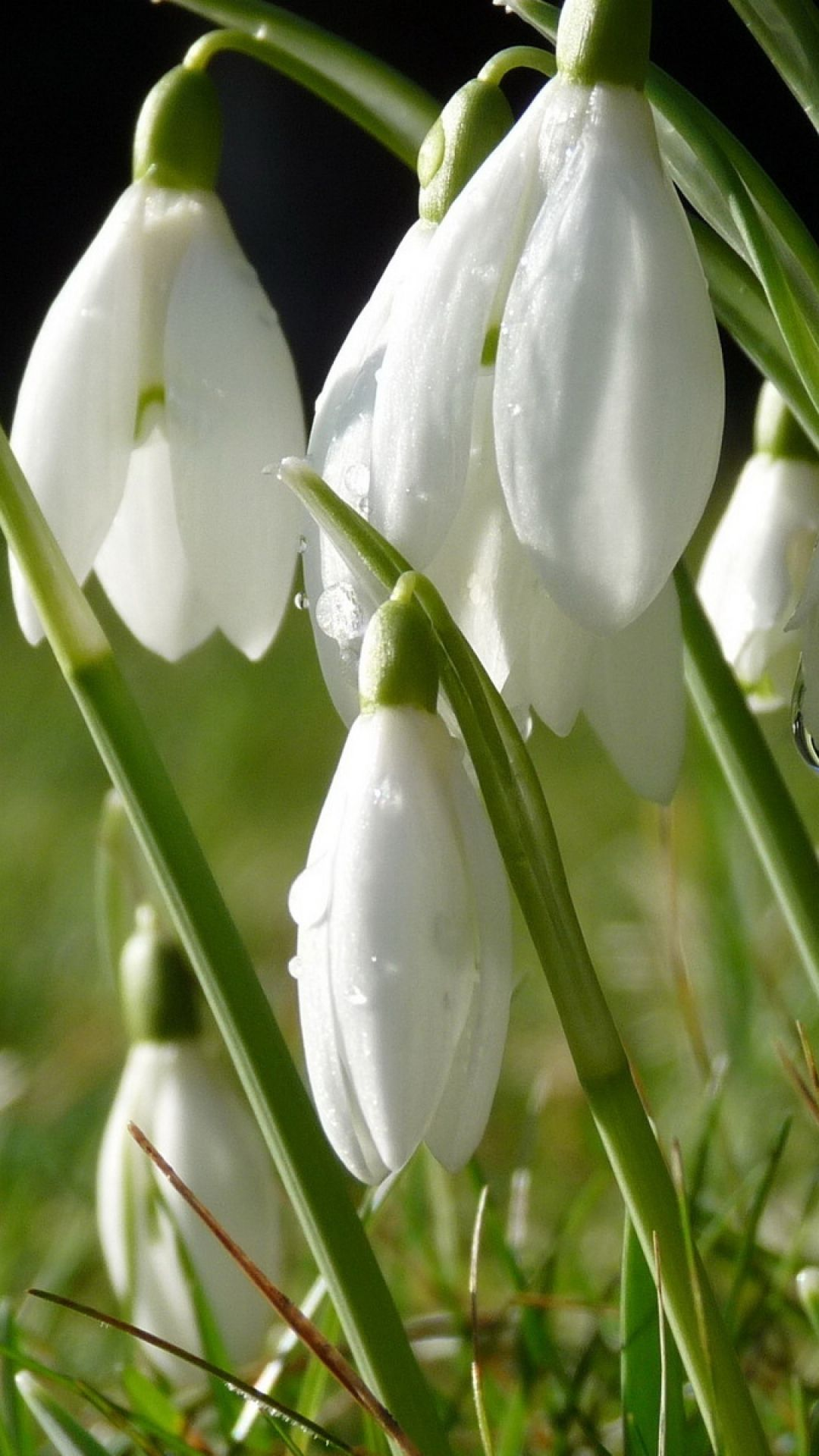 Snowdrops Flowers Grass Drops Dew Spring First Flowers Of Spring Spring Flowers Flowers