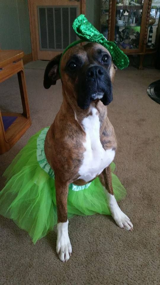 12 Costumes That Prove Boxer Dogs Always Win At Halloween With