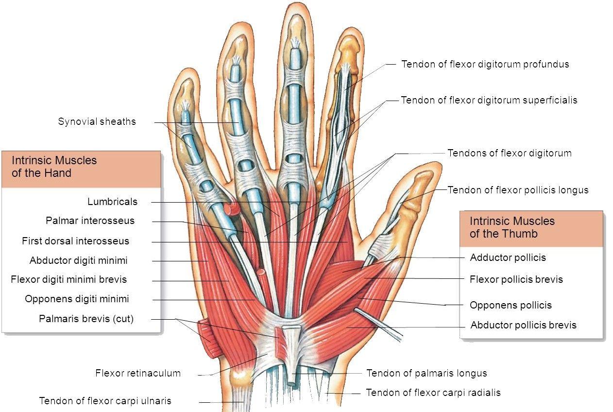 Hand Muscles Attachment Nerve Supply Action Hand Anatomy Nerve Anatomy Upper Limb Anatomy