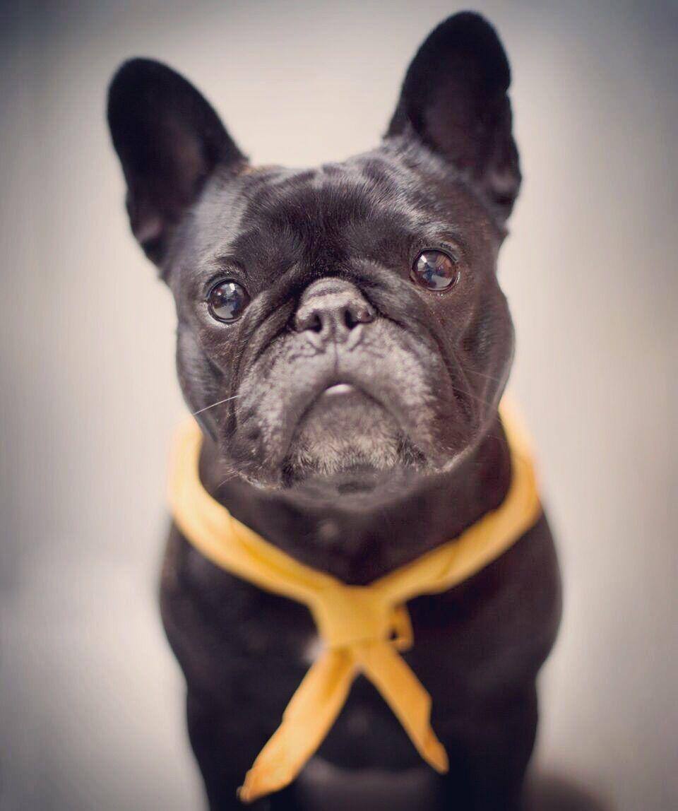 Poppy French Bulldog Pawshake