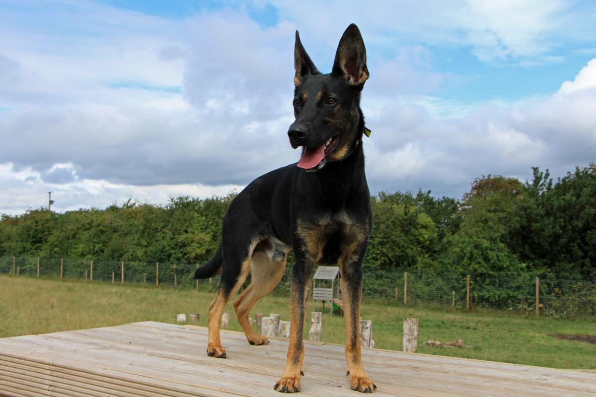 Adopt A Dog Kane German Shepherd Dog Gsd Alsatian Dogs