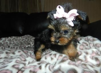 * Precious Yorkie Puppies For Sale * Teacup Puppies,Tiny teacup Poodle, Maltese ...   - Puppy Yorkie - #Maltese #poodle #precious #Puppies #PuppiesTiny #puppy #sale #teacup #Yorkie #cuteteacuppuppies