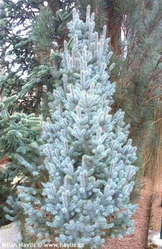 Mature height of picea p fastigiate