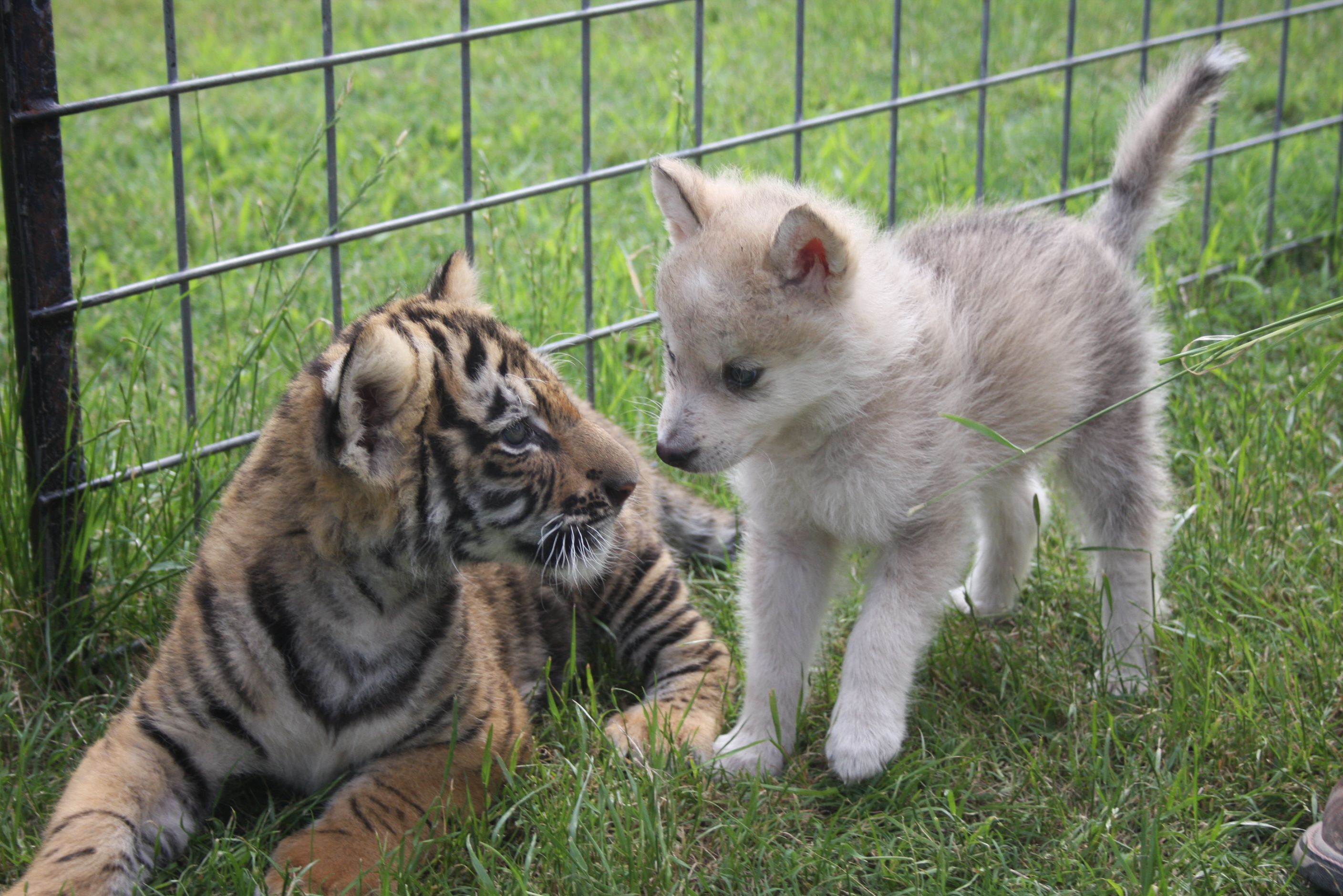 These two are sooooo cute!!! the baby wolf and baby tiger
