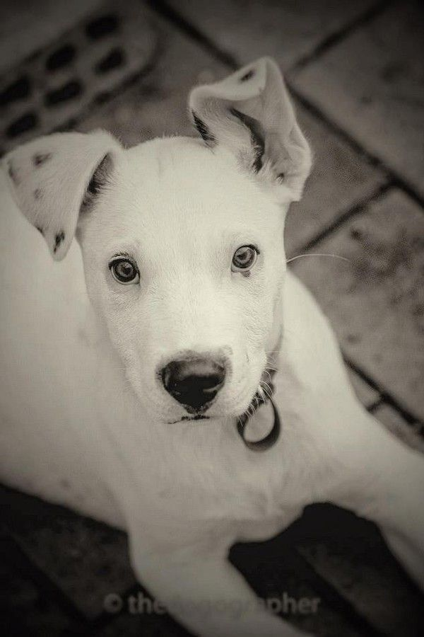 Bunker Large Male Bull Arab Mix In Qld Petrescue Dog Waiting Dog Mixes Puppies