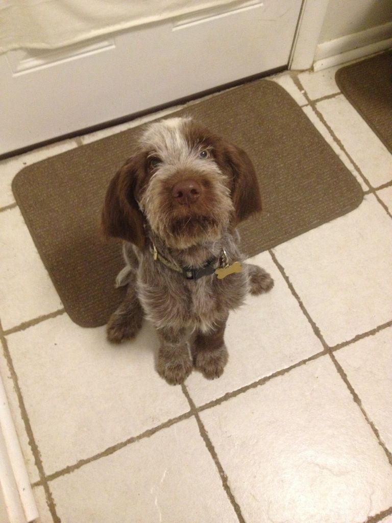 Image of italian spinone brown roan young puppy blue sitting cute - This Is Aldo Italian Spinone Pup
