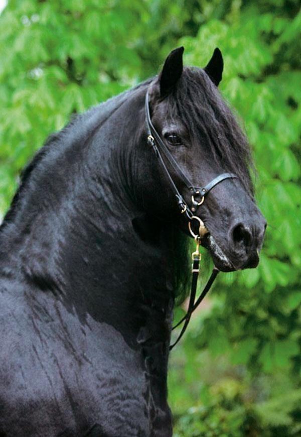 View All Images At أجمل خيول العالم صور Folder Friesian Horse Pretty Horses Most Beautiful Horses