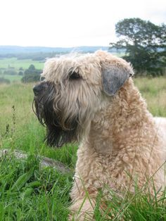 soft coated wheaten terrier haircut photos diesel soft pin by amanda diiorio on dogs wheaten terrier soft