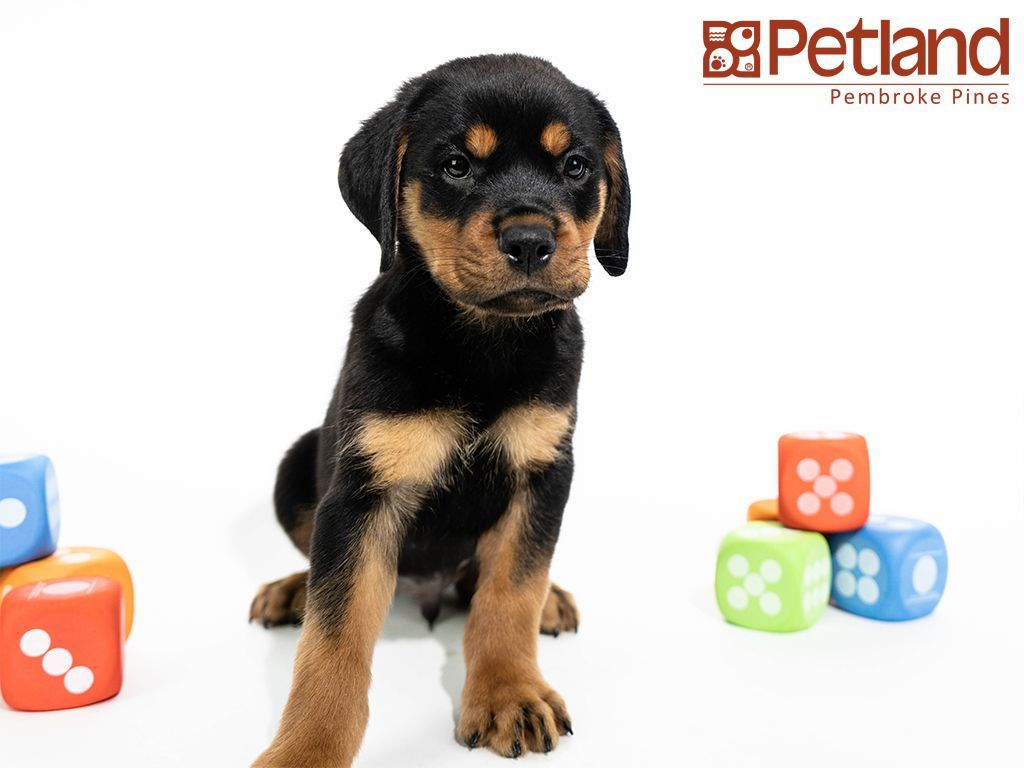 Petland Florida Has Rottweiler Puppies For Sale Interested In Finding Out More About This Breed Puppy Friends Rottweiler Puppies Rottweiler Puppies For Sale