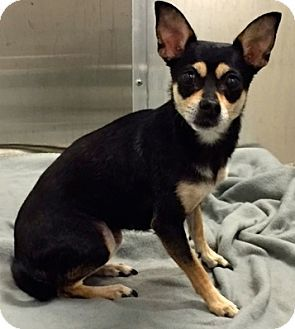 Ft Myers Beach Fl Chihuahua Miniature Pinscher Mix Meet Love