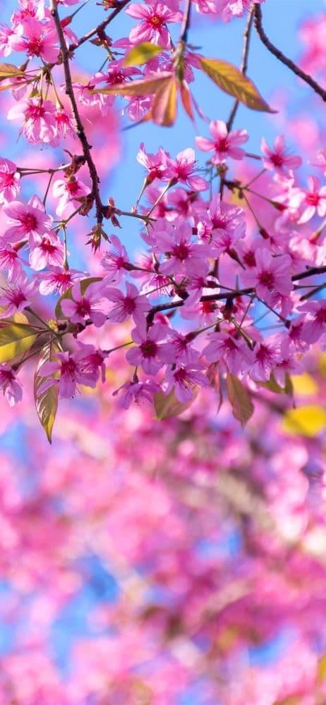 خلفيات ورد للايفون In 2020 Pink Trees Flowers Iphone Wallpaper