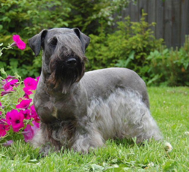 """Unser Hund der Woche der """"Tschechische Terrier"""" Hunde"""